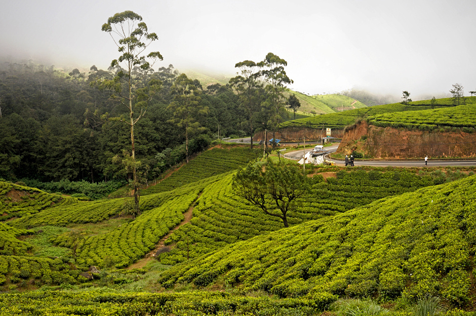 """1. Sri Lanka, Nuwara Eliya. Herbata, aby rosnąć potrzebuje jedynie ciepłego klimatu oraz odpowiednio wysoko położonego spadzistego terenu - cejlońskie """"Hill Country"""" spełnia te warunki. (Fot. Ania Błażejewska)"""