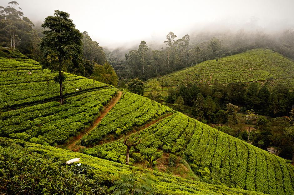 4. Sri Lanka, Nuwara Eliya. Krzewy herbaty przycinane są do wysokości ok 1 metra i sadzone w rzędach. (Fot. Ania Błażejewska)