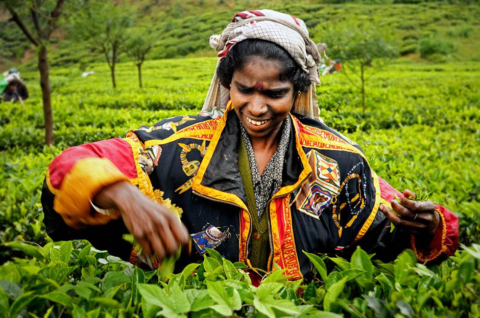 9. Sri Lanka, Nuwara Eliya. Liście herbaty są zbierane obiema rękami. (Fot. Ania Błażejewska)