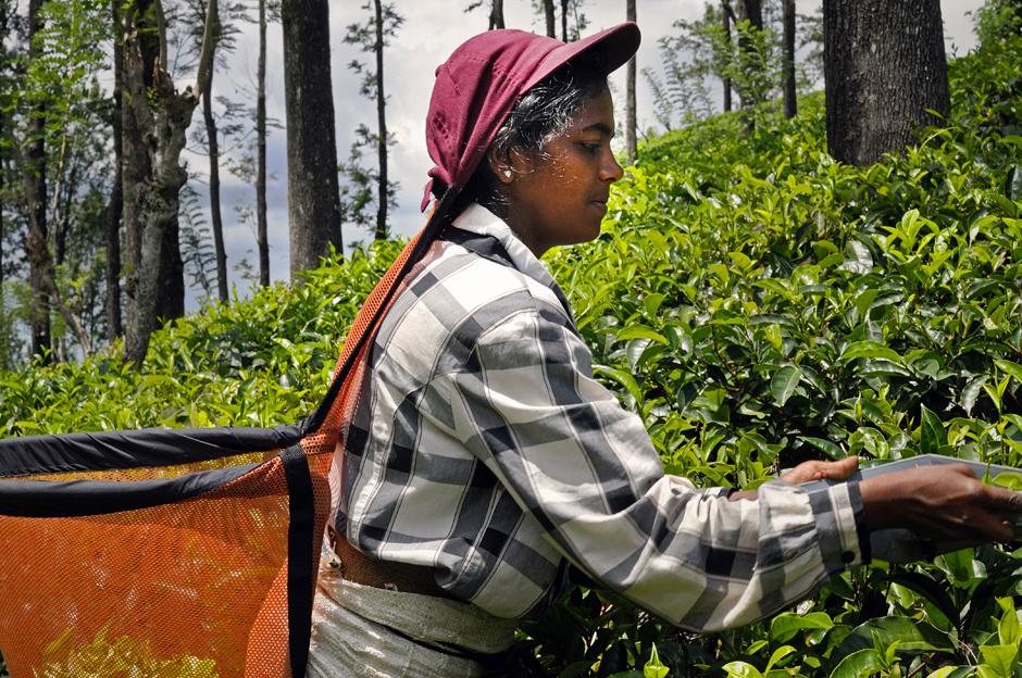 12. Sri Lanka, Ella. Tylko w wyniku starannego ręcznego zbioru herbata nie traci na jakości, a krzewy zachowują żywotność na długie lata. Mimo tego, na niektórych plantacjach można spotkać zbieraczki używające specjalnych maszynek do ścinania liści. (Fot. Ania Błażejewska)