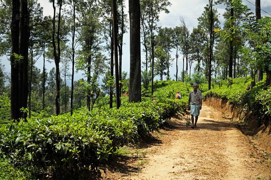 13. Sri Lanka, Ella. Nad pracą kobiet bardzo często czuwają nadzorcy. (Fot. Ania Błażejewska)