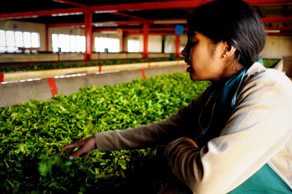 15. Sri Lanka, Nuwara Eliya. Zebrana herbata trafia do fabryki, gdzie najpierw w długich na kilkanaście metrów rynnach liście herbaty są pozbawiane swojej naturalnej wilgotności. (Fot. Ania Błażejewska)