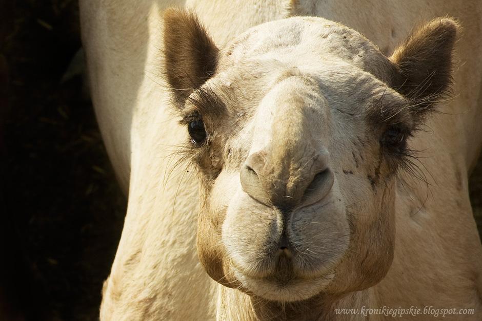 12_Camel_market_Birkasz