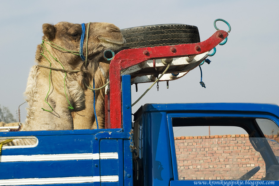 17_Camel_market_Birkasz