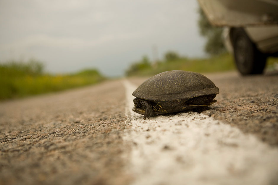 7. UKRAINA, północny Krym. Żółwika spotkaliśmy na naszej drodze gdzieś na północy Krymu. Miał trochę szczęścia. (Fot. Anna Alboth)