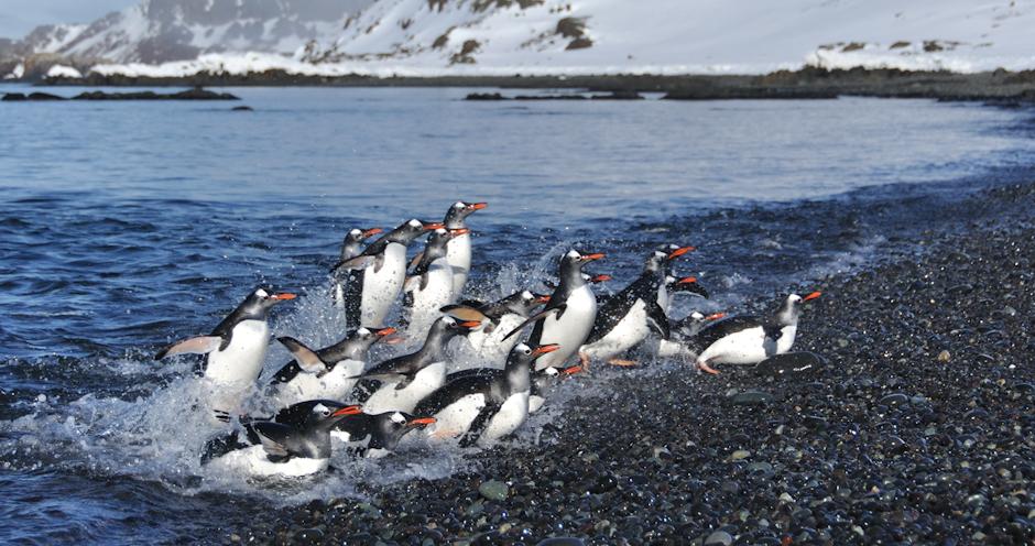 8. ANTARKTYKA, Wyspa Króla Jerzego. Pingwiny białobrewe – powrót z żerowania. (Fot. Piotr Horzela)
