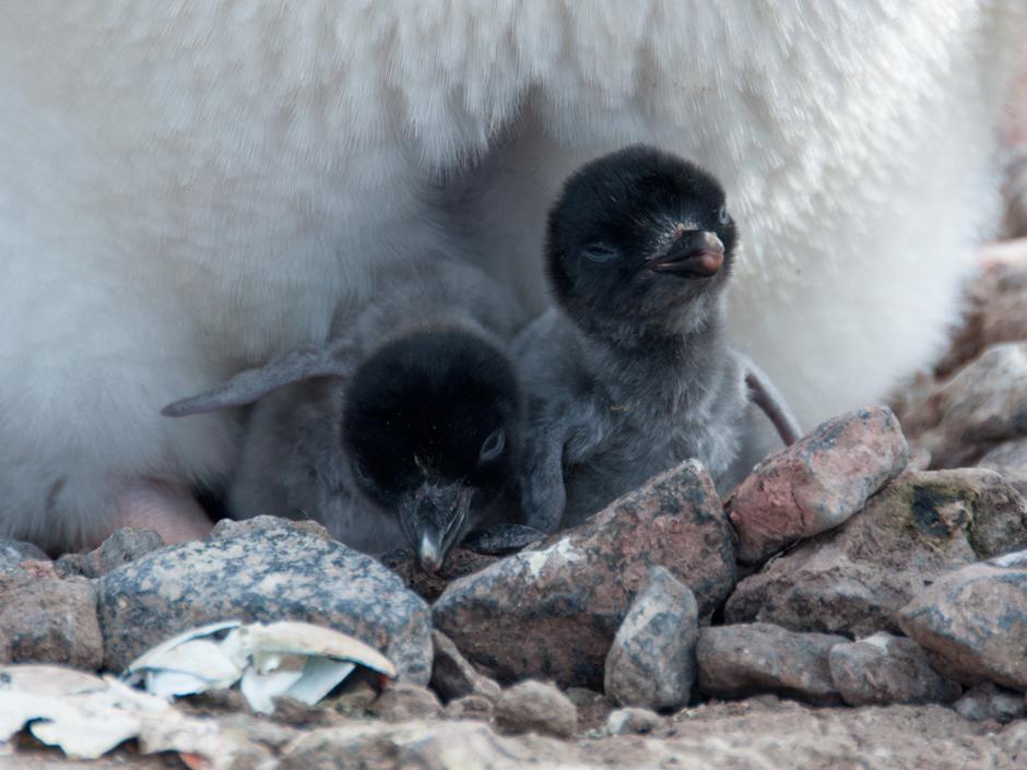 15. ANTARKTYKA, Wyspa Króla Jerzego. Jednodniowe pisklęta pingwinów białookich. (Fot. Piotr Horzela)