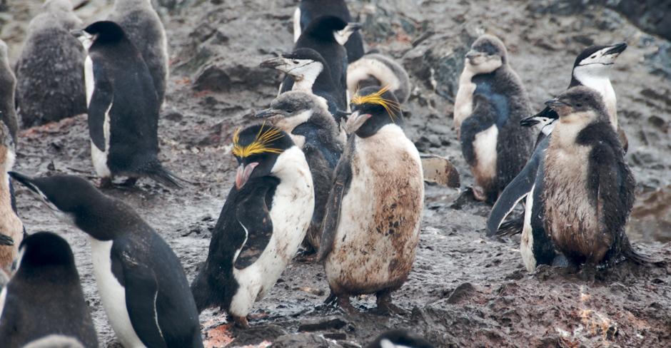 18. ANTARKTYKA, Wyspa Livingstone. Pingwiny złotoczube w otoczeniu kolonii pingwinów antarktycznych. (Fot. Piotr Horzela)