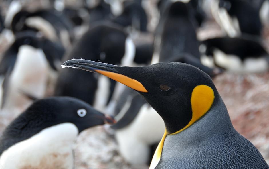 24. ANTARKTYKA, Wyspa Króla Jerzego. Pan na włościach – Pingwin królewski na tle kolonii pingwinów białookich. (Fot. Piotr Horzela)