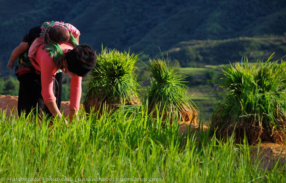 Sadzenie ryżu w Wietnamie