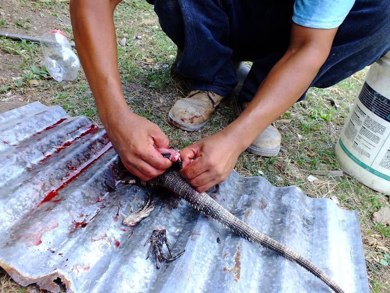 Oprawianie iguany w Hondurasie