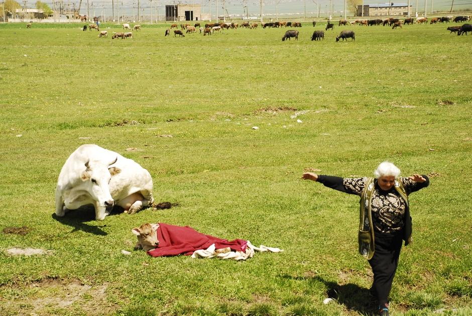 Krowa rodzi na armeńskim polu