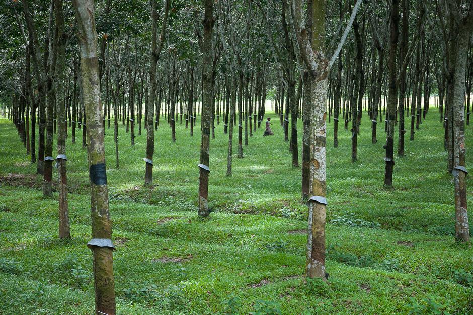 Las kauczukowy - zdjęcia z podróży przez Bangladesz