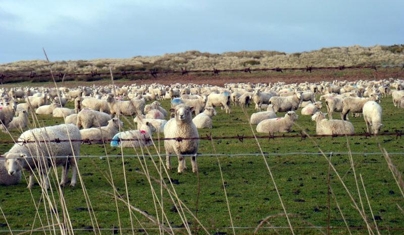 Jak strzygliśmy owce w Nowej Zelandii
