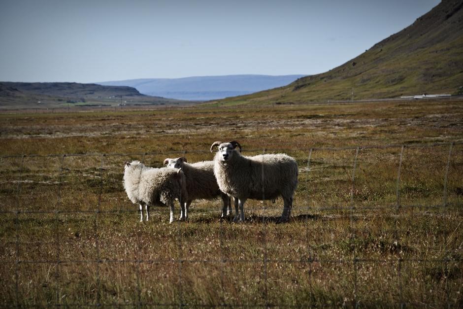 Na Islandii turystów i podróżników witaja owce