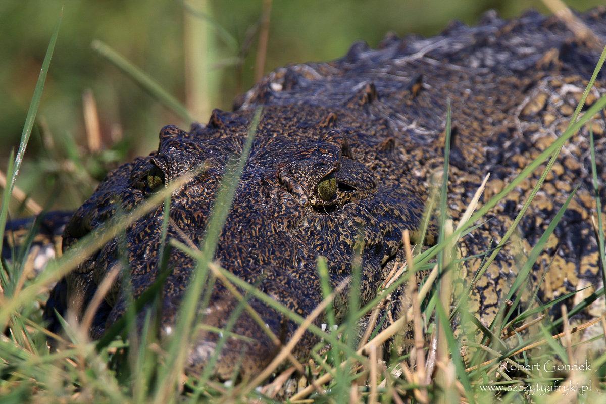 Rezerwat Moremi w Botswanie, krokodyl. Zdjęcia z podróży Robert Gondka