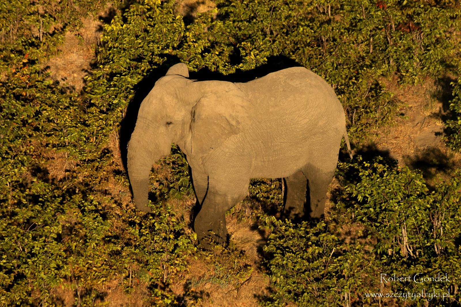 Słoń afrykański. Zdjęcie Roberta Gondka z Botswany