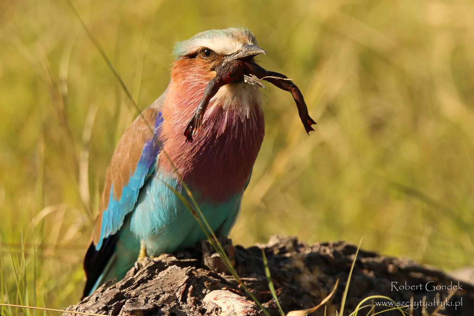 Kraska liliowopierœna - ptaki Afryki