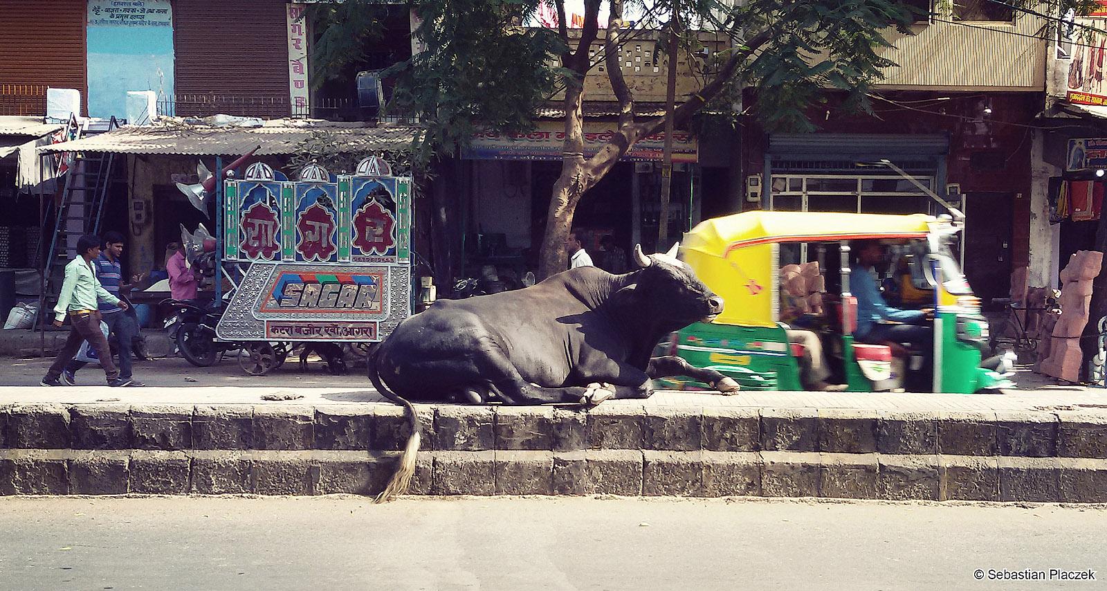 Indie, świete krowy w Agrze, Foto z podróży